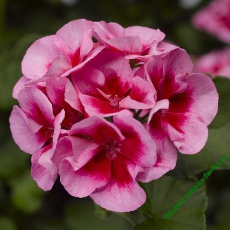 Muškát Summer Lovers® Rose Splash