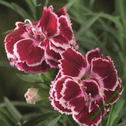Karafiát Suncharm Red White Bicolor