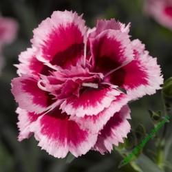 Karafiát Suncharm Rose Picotee