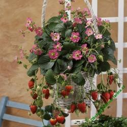 Převislé jahody Fragoo Pink
