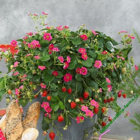 Převislé jahody Fragoo Rose