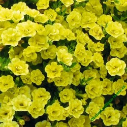Million Bells Calita Double Yellow