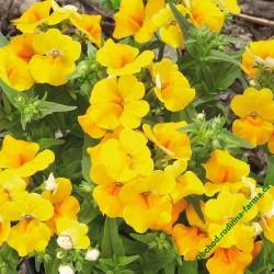 Hledíkovka (nemesia) Lyric Yellow